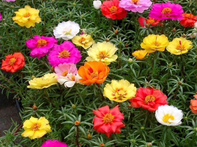 verdolaga, jardin secano, jardin mediterraneo
